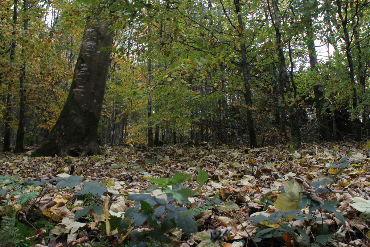 A photograph of a forest taken from near the forest floor, showing a high canopy of tree crowns and leafy litter on the ground